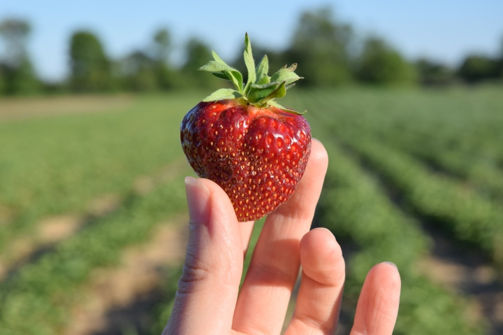 The First of the SummerStrawberries
